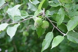 hedelmäpuita tontilla